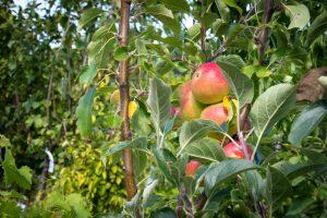 Plantation d'arbre Clonas sur Varèze