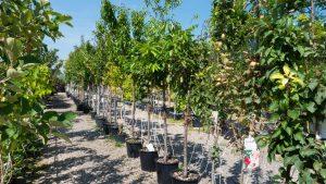 Plantation d'arbre Est Lyonnais