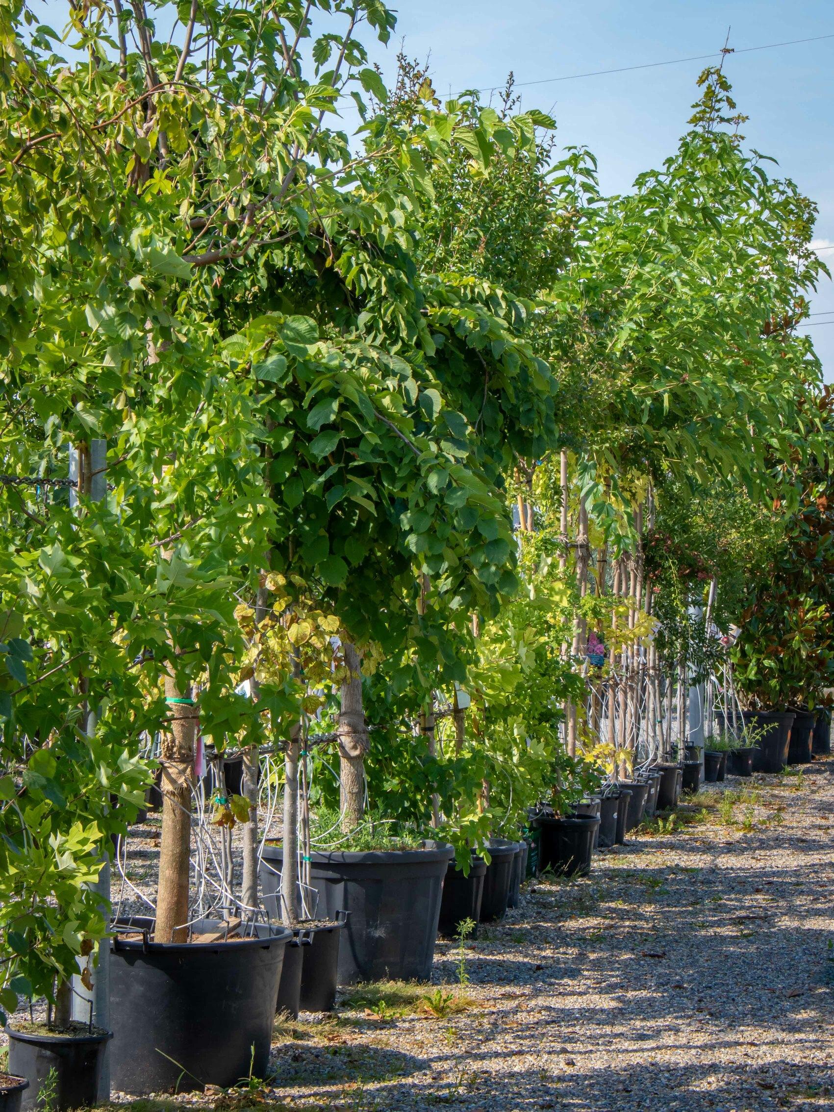 Plantation d'arbre Vienne 38